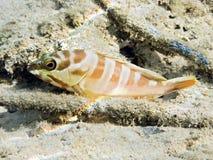Peixes da garoupa de Blacktip Fotografia de Stock Royalty Free