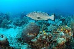 Peixes da garoupa e recife coral Fotografia de Stock