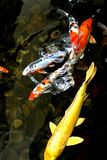 peixes da lagoa Foto de Stock Royalty Free
