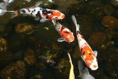 peixes da lagoa Imagem de Stock Royalty Free