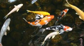 peixes da lagoa Fotografia de Stock Royalty Free