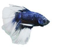 Peixes da luta imagens de stock