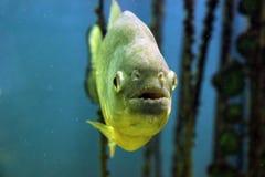 Peixes da piranha Foto de Stock Royalty Free