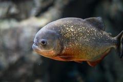 Peixes da piranha, brilho na obscuridade, isolada fotos de stock