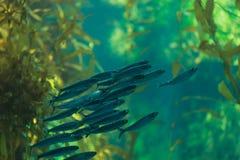Peixes da sardinha pacífica, sagax de Ardinops Foto de Stock Royalty Free