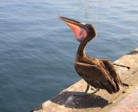 Peixes da terra arrendada do pelicano dentro de seu bico Imagens de Stock