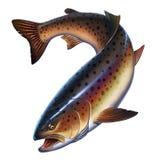 Peixes da truta arco-íris no fundo branco ilustração stock
