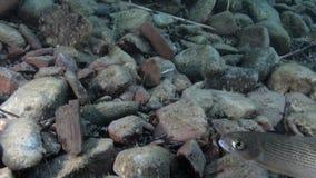 Peixes da truta subaquáticos no córrego da água de Lena River em Sibéria de Rússia video estoque