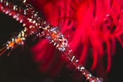 Peixes da tubulação de Ghost Fotografia de Stock Royalty Free