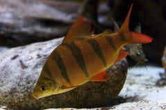 Peixes da vara subaquáticos Imagens de Stock
