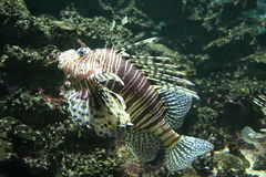 Peixes da zebra Fotos de Stock Royalty Free