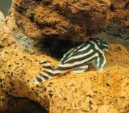 Peixes da zebra Foto de Stock
