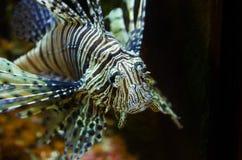 Peixes da zebra Fotografia de Stock