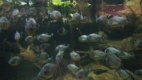 Peixes das piranhas subaquáticos filme