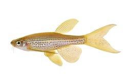 Peixes de água doce do aquário de Rerio Barb do Danio do leopardo de Longfin fotografia de stock
