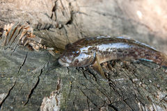 Peixes de água doce do peixe-gato ou peixes redondos do góbio apenas tomados do Fotografia de Stock Royalty Free