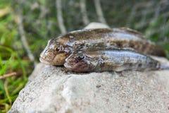 Peixes de água doce do peixe-gato ou peixes redondos do góbio apenas tomados do Imagem de Stock