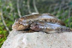 Peixes de água doce do peixe-gato ou peixes redondos do góbio apenas tomados do Foto de Stock