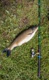 Peixes de água doce e varas de pesca de travamento com os carretéis da pesca na grama verde Caso amoroso branco e vara de pesca c Fotos de Stock Royalty Free