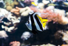 Peixes de água salgada Fotos de Stock Royalty Free