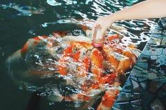 Peixes de alimentação da carpa Imagens de Stock Royalty Free