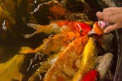 Peixes de alimentação da carpa com a garrafa de leite do bebê Imagens de Stock