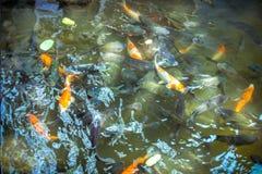 Peixes de alimentação na lagoa fotografia de stock royalty free