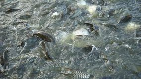 Peixes de alimentação no rio vídeos de arquivo