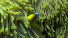 Peixes de anêmona video estoque