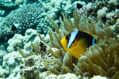 Peixes de anêmona Amphiprioninae no Mar Vermelho fotografia de stock