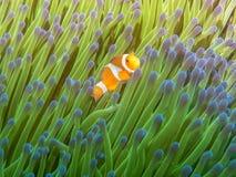 Peixes de anêmona com anêmona de mar fotos de stock royalty free