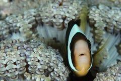 Peixes de Anemone imagem de stock