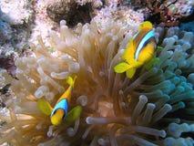Peixes de Anemone imagem de stock royalty free