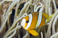 Peixes de anemone de Clark Fotografia de Stock Royalty Free