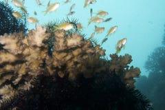 Peixes de Anthias, ilha de Balicasag, Bohol, Filipinas Fotografia de Stock