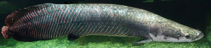 Peixes de Arapaima Foto de Stock Royalty Free