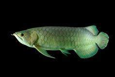 Peixes de Arowana imagens de stock