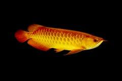 Peixes de Arowana do asiático, peixes do dragão imagens de stock royalty free