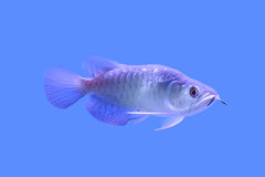 Peixes de Arowana no armário imagem de stock