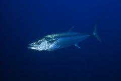 Peixes de atum Foto de Stock