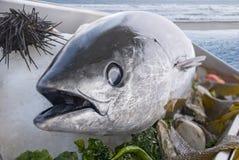 Peixes de atum frescos Foto de Stock Royalty Free