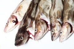 Peixes de bacalhau Imagens de Stock Royalty Free