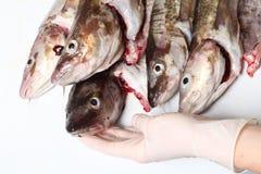 Peixes de bacalhau Fotografia de Stock