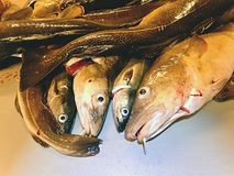 Peixes de bacalhau frescos Embarque limpando e enfaixando peixes de bacalhau frescos do mar em uma fábrica Fotografia de Stock