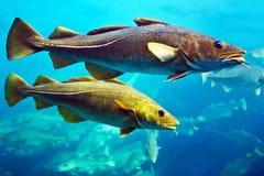 Peixes de bacalhau que nadam debaixo d'água, aquário em Alesund, Noruega Fotos de Stock