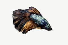 Peixes de Betta Fotos de Stock