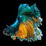 Peixes de Betta foto de stock