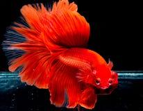 Peixes de Betta, peixes de combate, peixes de combate Siamese Imagem de Stock