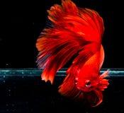 Peixes de Betta, peixes de combate, peixes de combate Siamese Fotografia de Stock Royalty Free