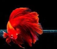 Peixes de Betta, peixes de combate, peixes de combate Siamese Imagens de Stock Royalty Free